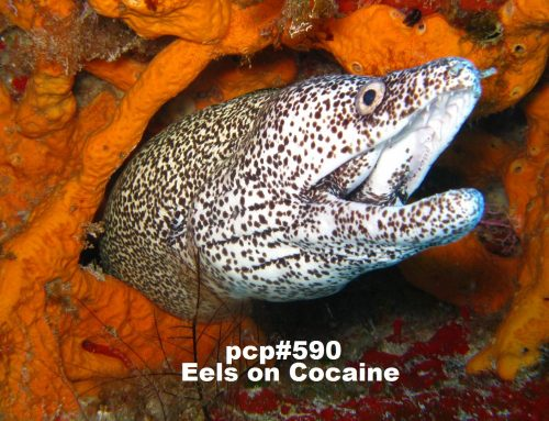 PCP#590… Eels on Cocaine….